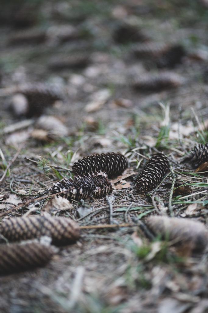 Tannenzapfen im Wald